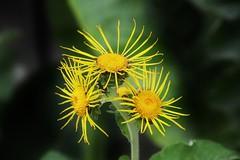 Wild Flower (Hugo von Schreck) Tags: hugovonschreck wildflower wildblume flower blume blte macro makro outdoor canoneos5dsr tamron28300mmf3563divcpzda010