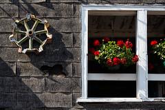 Geraniums (trochford) Tags: geraniums flowers hangingbasket wall window wheel gear shingles asphaltshingles old weathered torn barn farm texture sunlight shadow eccardtfarm washingtonnh nh newhampshire newengland usa canon outdoor exterior