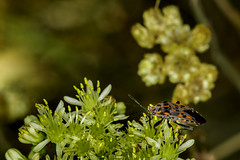 Bitxo con ambiente de colores (Lygaeus saxatilis) (mgmendiguren) Tags: insecto naturaleza colores chinche del avellano