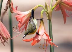 IMG_4854  Olive-backed Sunbird-female (ashahmtl) Tags: olivebackedsunbird sunbird bird female nectariniajugularis kohphrathong natureresort phangngaprovince thailand