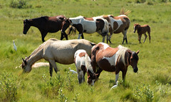 Chincoteague Wild Ponies (Auslese Spitzen) Tags: wildhorses wildponies horses assateague chincoteague