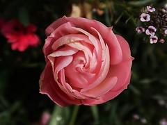 1 Swirling Open (Robert Cowlishaw-Mertonian) Tags: notarose pink red swirling 1 robertcowlishaw mertonian canonpowershotg7xmarkii canon powershot g7x mark ii awe wonder ineffable whirling beauty nature lunchwalk lookingdown unfolding