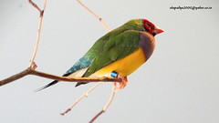 DSC07585 Gouldian Finch (Erythrura gouldiae) (vlupadya) Tags: outdoor greatnature bird animal aves fauna gouldian finch eythura nationalaviary pittsburgh