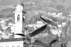 Colazione in riva a Cernobbio (illyphoto) Tags: gabbiano gabbiani gull gulls photodiilariaprovenzi bricioladipane photoilariaprovenzi cernobbio lagodicomo comolake lakecomo