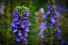 Another Flower (claudeallaert) Tags: 135mm bokeh carlzeissjena135mmf35 dof flower handheld manualfocus purple sonya7 sonyilce7 vintagelens
