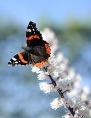 Alnwick Castle Gardens (Simon Caunt) Tags: nikond800 d800 afsnikkor2470mmf28 closeup bokeh flora floraandfauna vivid red redadmiral butterfly flutterbug alnwick castle garden northumberland nikon fauna