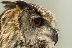 IMG_0556 (Kev Gregory (General)) Tags: european eagle owl raf wyton anniversaries event raptor foundation woodhurst kev gregory sigma 50 500 50500 bigma telephoto zoom bird of prey
