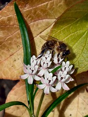 No Medicine for Death. Asclepias angustifolia, Mexican Milkweed, and Honeybee, Apis mellifera, Hortus Botanicus, Amsterdam, The Netherlands (Rana Pipiens) Tags: flower insect honeybee apismellifera michelangelsalessi arizonausa arizona milkweed arizonamilkweed mexicanmilkweed ascelpias angustifolia schweigg asclepiasangustifoliaschweigg asclepiaslinifolialagexspreng aesculapius hortusbotanicusamsterdamthenetherlands nrnbergerfriedensundkriegskurier augustfriedrichschweigger murder medicine
