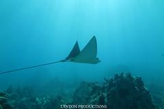 IMG_0046 copy (Aaron Lynton) Tags: lyntonproductions tako honu turtle hawaii maui underwater canon g1x spotted eagle ray octopus sea star