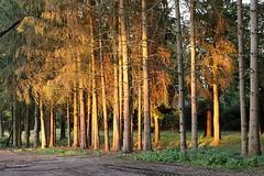 Wood during sunset great light show (Jeroen Stroes Photography) Tags: sunset wood lightshow heeze kleurrijk lichtval belichting bos lagezon zonlicht avondlicht tassie