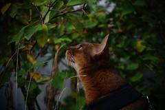 Looking for something (DizzieMizzieLizzie) Tags: abyssinian aby beautiful wonderful lizzie dizziemizzielizzie portrait siesta cat chats feline gato gatto katt katze katzen kot meow mirrorless pisica sony a6000