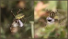 Frau Wespenspinne mit ihrem Lunchpaket (julia_HalleFotoFan) Tags: wespenspinne zebraspinne tigerspinne seidenbandspinne radnetzspinne argiopebruennichi