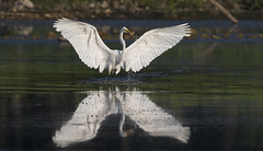 Egret after capturing small fish... (Mike Martin, Wildlife Photography) Tags: greategrets whiteegrets egrets