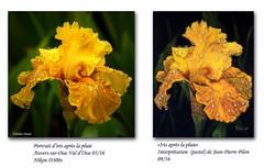 Oeuvre d'aprs une de mes photos (didier95) Tags: pastel photo photographie didiermass didiermasse iris irisjaune fleur fleurjaune