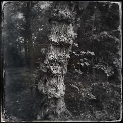 Tree of Gnomes (Creepella Gruesome) Tags: iphone6splus hipstamatic nature woods tree trunk bark gnarled blackandwhite squareformat spooky mysterious phantasm
