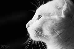 Daydreaming. (Paper Meadows Photography) Tags: cat kitten pet animal blackandwhite blackbackground sideview depthoffield bw monochrome emotion