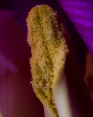 Inside a tulip , #Spring , #beautiful , #splendid , #Bokeh , #photoart , #purple , #wanderlust , #flower , #stamen , #perspective , #elegant , #Exposure , #garden , #contrast , #Photography , #Nature , #outdoor , #pollen , #color , #Light , #composition , (jwzw@ymail.com) Tags: inside tulip spring beautiful splendid bokeh photoart purple wanderlust flower stamen perspective elegant exposure garden contrast photography nature outdoor pollen color light composition bloom photographer flora macro closeup upclose mothernature delicate