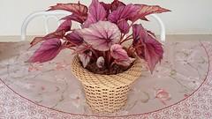 Presente para o meu amor!! // Gift for my love !! (J. Garcia Dias) Tags: begonia rex planta flor vaso cachep folhas flower presente amor gift love vermelha red