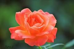 have a nice day!  (martinap.1) Tags: rose nikon d3300 macro makro blume flower blte rosenblte orange 55200mm