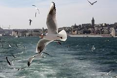 Istanbul Seaguys! (H e r m e s) Tags: turkey istanbul bosphorus galata martı segull