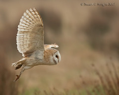 Barn Owl (Stuart G Wright Photography) Tags: bird birds barn wildlife owl prey wwwstuartgwrightcom