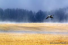Misty Snow Goose [Explored] (Gary Grossman) Tags: mist nature misty fog oregon landscape flying northwest flight foggy goose landing pacificnorthwest sauvieisland sauvie finalapproach snowgoose mygearandme mygearandmepremium
