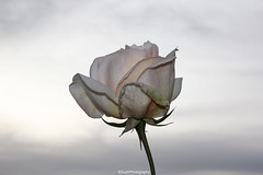 White Evening Rose