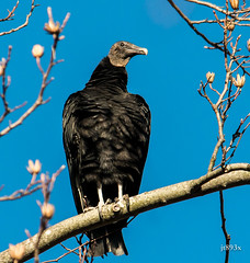 Black Vulture 021213bc (jt893x) Tags: bird nikon sigma vulture blackvulture coragypsatratus d800 150500mm