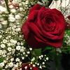 Rose on Muni (Kevin.Kelleher) Tags: california red flower rose san francisco muni