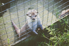 39/365 - Asian otter (Chad Powell Design and Photography) Tags: nature animal canon haze otter 365 canon50mmf18 vignette seaview canon50mm filmlook canon50mm18 filmeffect 365challenge 365daychallenge hazeeffect canon550d canont2i