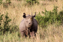 Black rhino (Tobi Roaming Africa) Tags: kenya kenia blackrhino masaimara rhinocerus nashorn spitzmaulnashorn massaimara mygearandme mygear