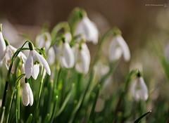 Snowdrops (RichardBeech) Tags: flowers nature spring dorset snowdrops wormseyeview tsc sundaychallenge richardbeech rdb75