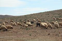 Sheeps - south Maroc (LeszekZadlo) Tags: naturaleza mountains nature landscape countryside natureza paisaje morocco maroc atlas maghreb geology landschaft sheeps