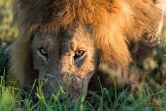 Lion Drinking from a Stream (Glatz Nature Photography) Tags: intense eyes eyecontact kenya wildlife lion slideshow bigcats masaimara wildanimals pantheraleo nikond4 photocontesttnc13