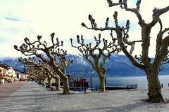 Warten auf Frhling in Ascona (HITSCHKO) Tags: schweiz switzerland tessin ascona ticino suisse svizzera baum einzelbaum svizra laubbaum solitrbaum