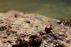 bug long walk (Juan Miko Photo) Tags: naturaleza insectos fauna flora mariquita cucarron