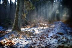 forest walk (Hans Zitzler) Tags: winter bayern bavaria oak oberpfalz waldspaziergang eiche sonntagsspaziergang d600 nohdr diamondclassphotographer flickrdiamond fleursetpaysages mygearandme mygearandmepremium wildschweinspuren