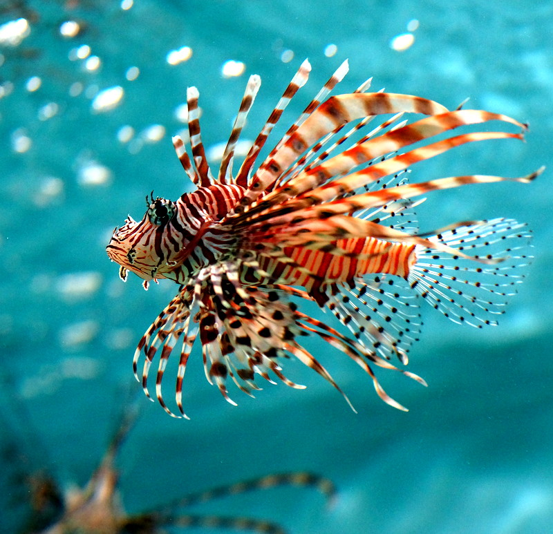 Fashionable Lion Fish
