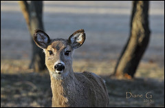 Whitetail Deer (Diane G. Zooms) Tags: nature wildlife ngc deer npc whitetaildeer coth supershot specanimal coth5