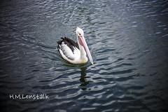L1137945 (h.m.lenstalk) Tags: leica lake bird 50mm oz australian australia noctilux aussie 50 asph m9 f095 095 noctiluxm 109550 pelicam pelikam