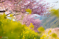 Kawazu cherry blossoms and Rape blossoms (Masahiko Futami) Tags: japan canon asia photographer blossom 桜 cherryblossom 日本 sakura sizuoka izu 春 kawazu fieldmustard 菜の花 伊豆 静岡県 kawazuzakura 河津桜 eos5dmarkiii