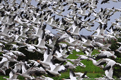 2013-03-07 Snow Geese (06) (1024x680) (-jon) Tags: anacortes skagitcounty washingtonstate salishsea pugetsound chencaerulescens goose geese snowgoose oiedesneiges laconner conway firisland pacificnorthwest lessersnowgeese flying flight a266122photographyproduction snowgeese bird waterfowl skagit d90archives