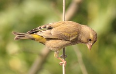 Female Greenfinch (Elisabeth (Kelev, Tama, Mazal)) Tags: bird nature female garden greenfinch carduelischloris vrouwtje groenling