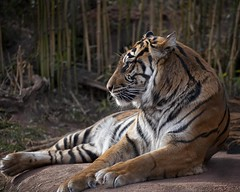 Tiger Waits (A Anderson Photography, over 1 million views) Tags: travel cats oklahoma animal animals zoo tiger predator oklahomacity bigcats zoos oklahomacityzoo traveloklahoma flickrbigcats