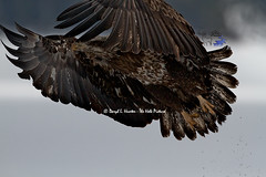 Immature Bald Eagle in flight (Daryl L. Hunter - The Hole Picture) Tags: usa closeup unitedstates idaho majestic birdsofprey immaturebaldeagle
