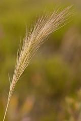 Aristida spiciformis (Bottlebrush threeawn) (KeithABradley) Tags: grass native poaceae inflorescence flatwoods monocots spikelets graminoid awns dryprairie aristidaspiciformis bottlebrushthreeawn