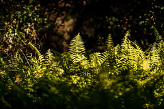 Ferns In The Light (Mabry Campbell) Tags: usa plant fern green nature photography march us photo spring texas photographer unitedstates image tx unitedstatesofamerica houston 100mm photograph 100 ferns f28 springtime bayoubend harriscounty 2013 ¹⁄₂₅₀₀sec eos5dmarkiii ef100mmf28lmacroisusm mabrycampbell march122013 201303120h6a1235