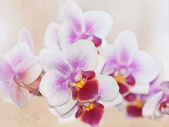 Orchid (JacquiTnature) Tags: orchid flower nature blossom phalaenopsis bloom flowersandplants botony jacquit tropcicalflower