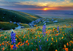 Spring Sunset, Central Valley (DM Weber) Tags: california flowers sunset canon landscape central valley poppies blooms lupine fiddlenecks eos5dmk2 psa148 dmweber