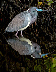 Tricolored Heron (mattlev12) Tags: heron tricolored